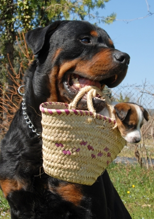 a rottweiler carrying a very young puppy jack russel terrier in a basket