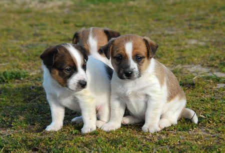 three puppies purebred jack russel terrier in a garden photo