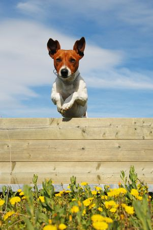 jumping purebred jack russel terrier in a field with yellow flowers Stock Photo