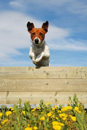 Springen reinrassiger Jack Russel Terrier in einem Feld mit gelben Blüten