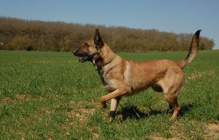 beautiful purebred belgian shepherd malinois in a field photo