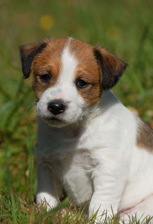 puppy purebred jack russel terrier in a garden photo