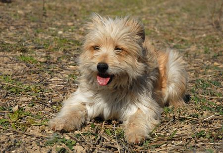 pyrenean: portrait of a purebred pyrenean shepherd in a field Stock Photo