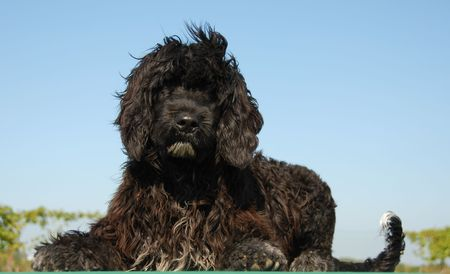 puppy portuguese water dog laying down on a green table