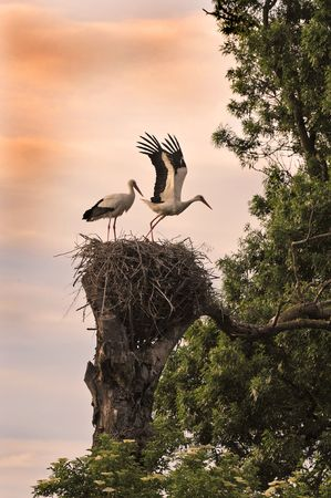 beginning of life for two white stork on their nest photo