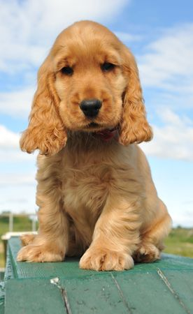 young puppy purebred english cocker sitting outdoor