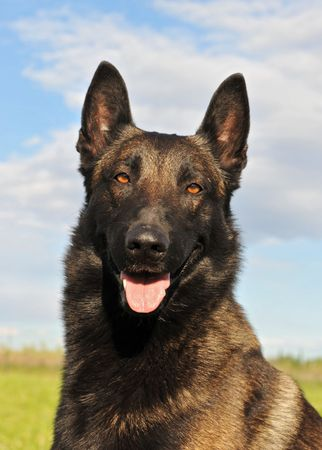 portrait of a beautiful purebred belgian shepherd malinois. focus on the eyes photo