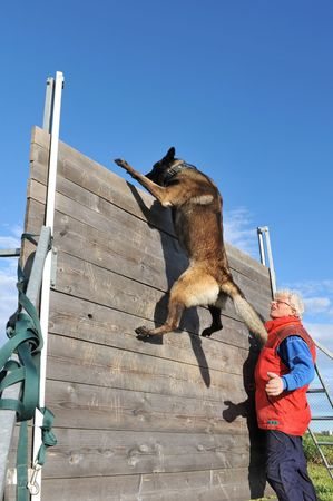 training of a police dog with a purebred belgian shepherd malinois photo