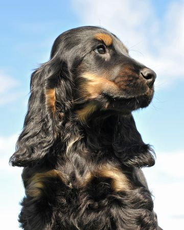 portrait of a puppy purebred cocker spanier on a blue sky photo