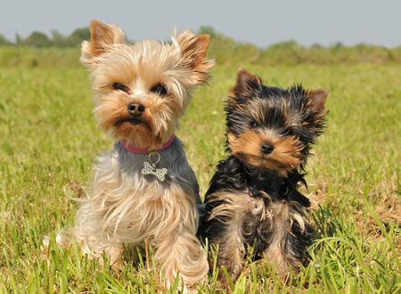 portrait of a female yorkshire terrier and her cute puppy