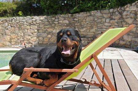 un rottweiler de prendre un bain du soleil sur un transat près d'une piscine Banque d'images