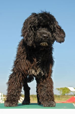 puppy portuguese water dog upright on a table of agility photo