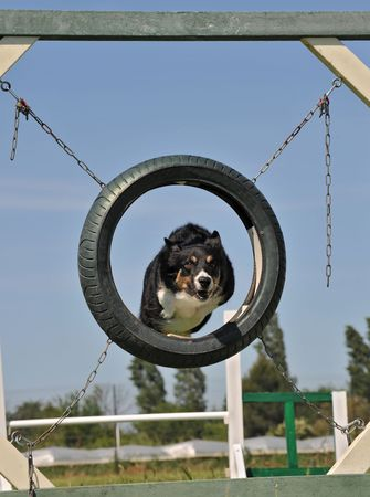 purebred border collie in a competition of agility photo