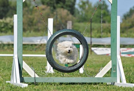 pneu: purebred maltese dog in a competition of agility