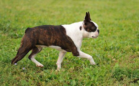 boston terrier: running purebred boston terrier on a garden Stock Photo