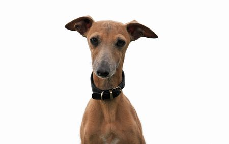 portrait of a purebred italian greyhound on a white background
