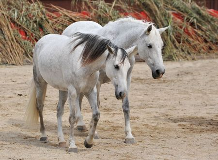 two white horses together in the south of France Stock Photo - 4883090