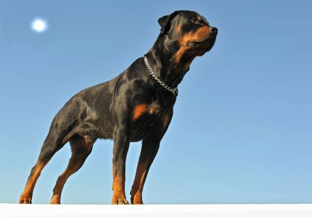 upright: portrait of purebred rottweiler upright on a blue sky