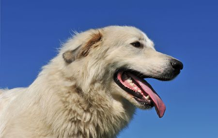 pyrenean mountain dog: portrait of a pyrenean mountain dog on a blue sky