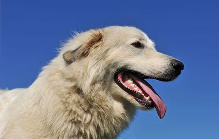 pyrenean: ritratto di un cane di montagna dei Pirenei su un cielo blu
