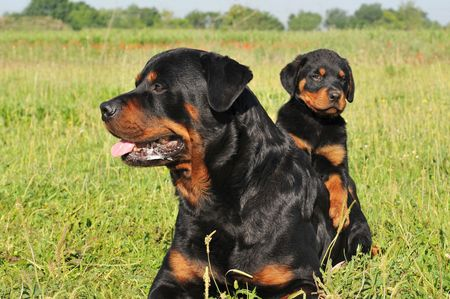 portrait of an adult rottweiler and his puppy in a field