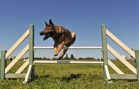 jumping grey german shepherd in a training of agility photo