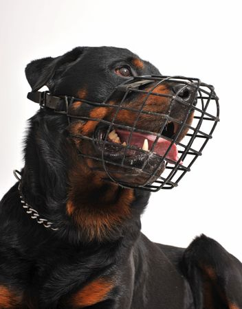 muzzle: portrait of a purebred rottweiler with his muzzle Stock Photo