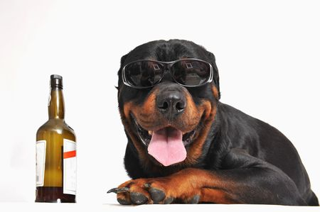 portrait of a purebred rottweiler with sunglasses and bottle of alcohol. focus on the dog Stock Photo