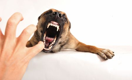 barking: very angry purebred belgian shepherd malinois, focus on the eyes of dog.