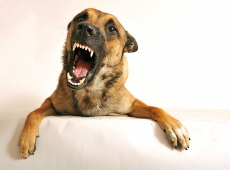 barking: portrait of a very angry purebred belgian shepherd malinois