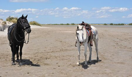 two horses on a beach in the Camargue, France photo