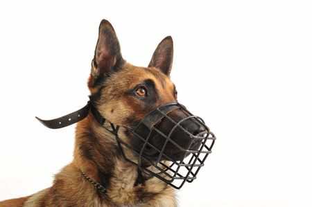 portrait of a purebred belgian shepherd malinois withe his muzzle photo