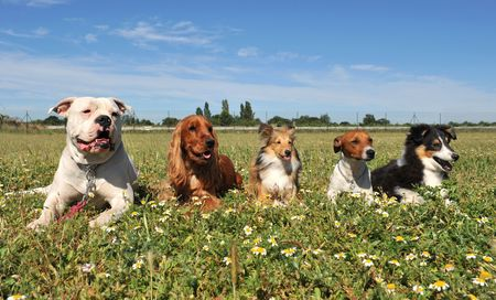 five purebred dogs laid down in a field