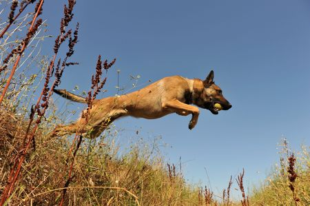 sheepdog: portrait of a jumping purebred belgian shepherd malinois