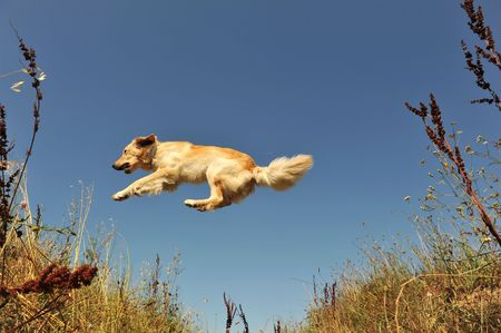 jumping purebred golden retriever or blond hovawart on a blue sky photo