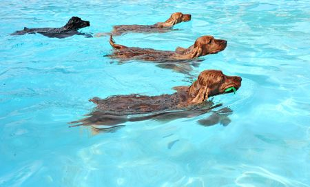 black dog: four cocker spaniel playing in a swimming pool