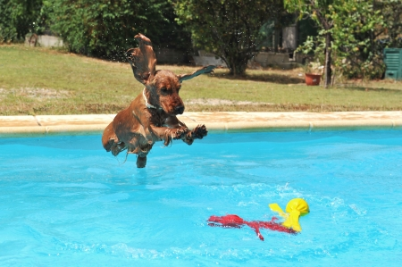 dog summer: jumping purebred cocker spaniel in a swimming pool