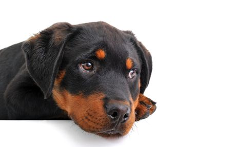 sad puppy purebred rottweiler on a white background Stock Photo