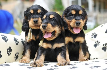 three puppies purebred cocker spaniel on a little sofa