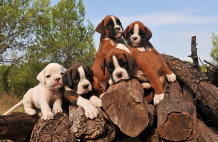 five little purebred puppies boxer together on the wood photo