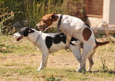 faisant l amour: deux pedigree jack russel terrier en amour dans un jardin.