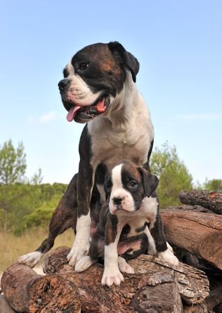 female boxer: mother and her puppy purebred german boxer