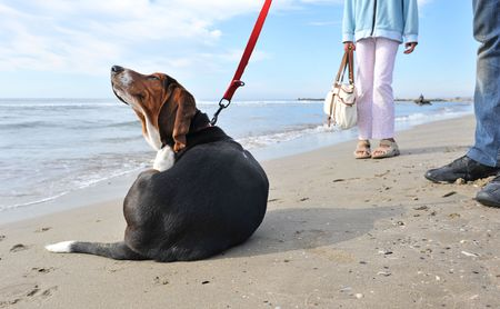 two humans waiting their puppy basset hound because hes scratching on a beach photo