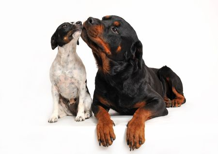 rottweiler:  rottweiler and a jack russel terrier are very friends