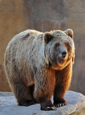 portrait of a grizzly bear upright in the morning sunshine photo
