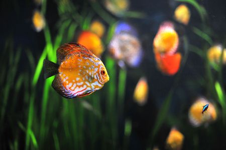 discus fish: colorful tropical Symphysodon discus fish in an aquarium