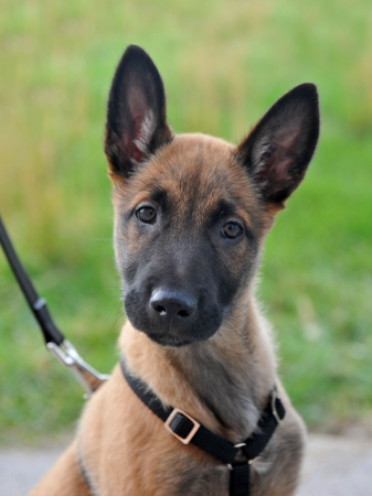 harness: portrait of a young puppy purebred belgian shepherd malinois with harness