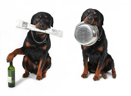 rottweiler: two purebred rottweilers in a studio with bottle, bowl and newspaper Stock Photo