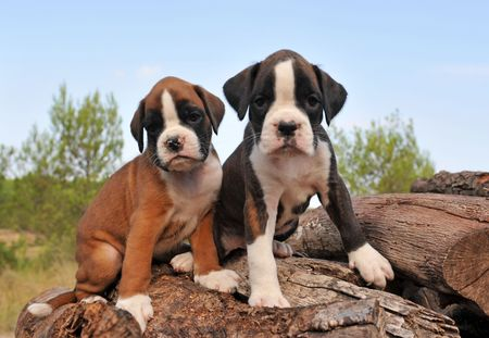 boxer dog: portrait of two purebred puppies boxer outdoors Stock Photo
