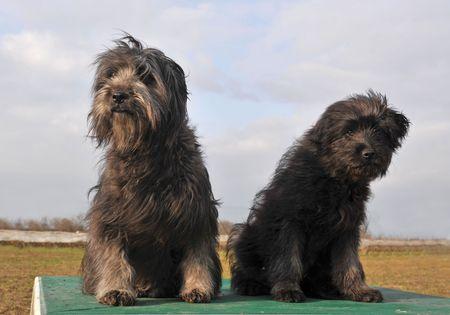 pyrenean: Ritratto di un pastore dei Pirenei razza cane e cucciolo